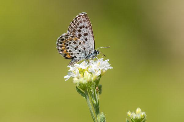 Vetkruidblauwtje
