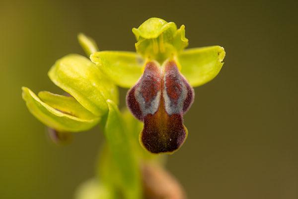 Bruine Ophrys