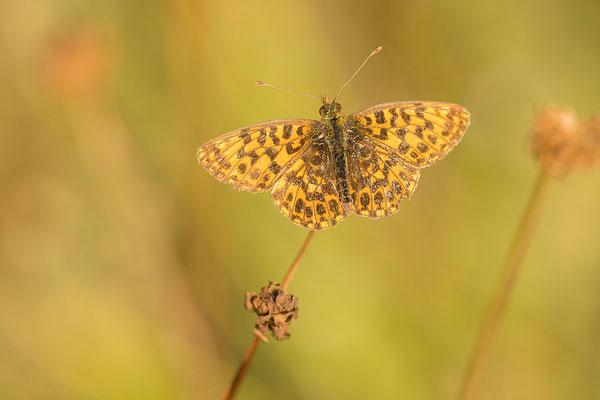 Paarse/Akkerparelmoervlinder