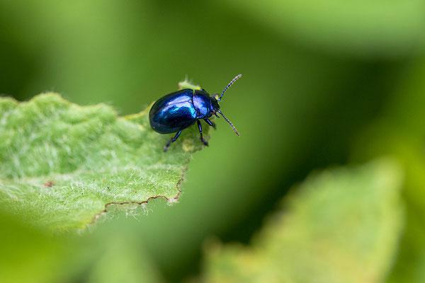 Blauwe Muntgoudhaan