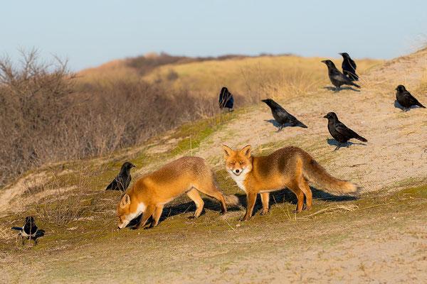 Twee Vossen en een groep Zwarte Kraaien