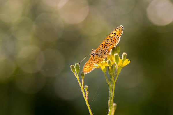 Toortsparelmoervlinder