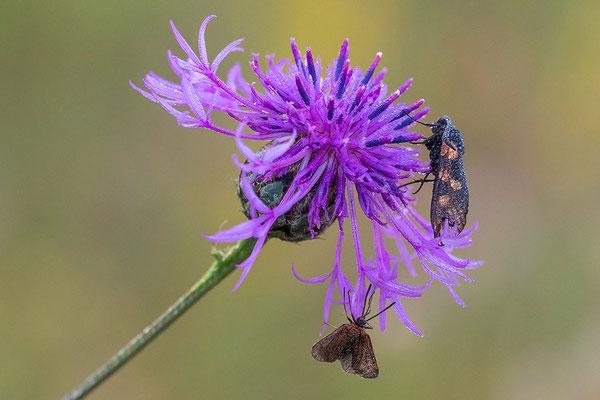 Vijfvlek Sint-Jansvlinder en Motje sp. op Groot Knoopkruid
