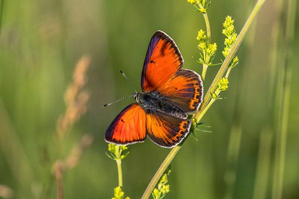 Balkanvuurvlinder