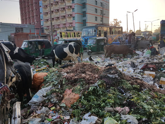 A Chittagong, les vaches se nourricent des ordures de la ville