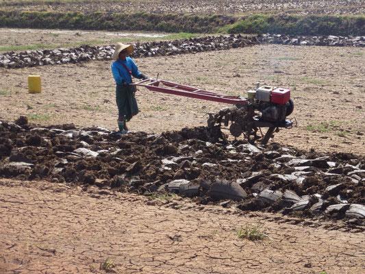 Labour dans les rizières