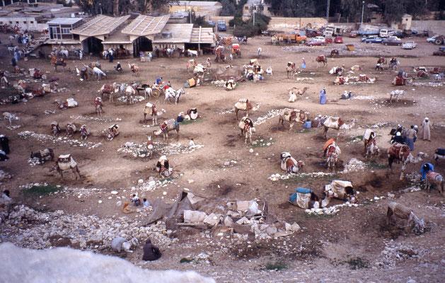 Près des pyramides de Giseh, les montures attendent les touristes (ânes, chameaux et chevaux)
