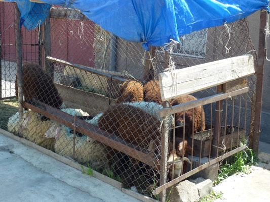Moutons en attente sur la rue près de la boucherie.