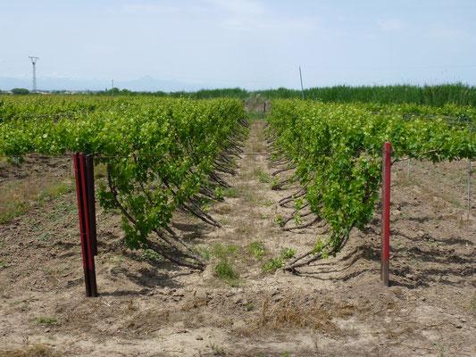 Beaucoup de vigne et d'abres fruitiers dans le sud de l'Armanie