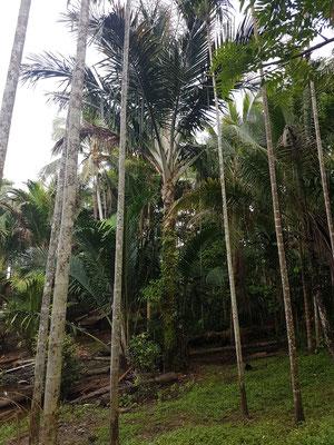 Sago ; arbre ressemblant à un palmier dont le tronc est comestible