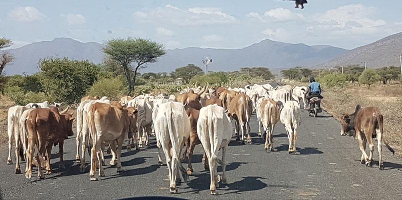 Troupeau de vaches sur la route.