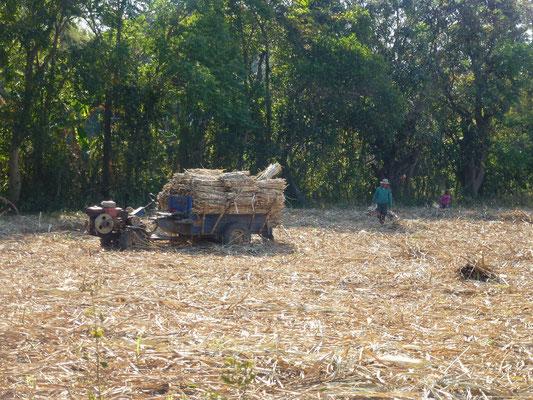 Récolte de la canne à sucre à la main