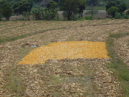 Sèchage du maïs en plein champ