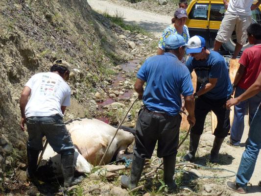En chemin, une vache tombée de la montagne. Le bus s'arrête et tous les hommes aident à l'a hisser dans un pick up.