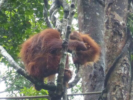 Une mère orang-outan et son petit