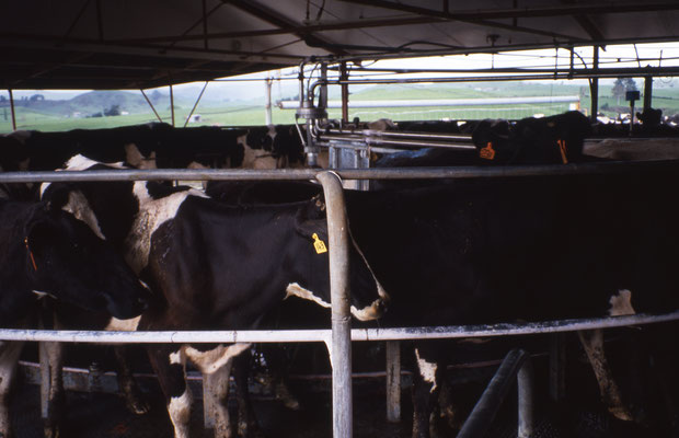 Troupeau laitier. Il n'existe pas d'étable en Nouvelle Zélande