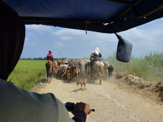 Déplacement d'un troupeau entre les rizières non protégées