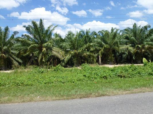 Plantations de palmiers a huile