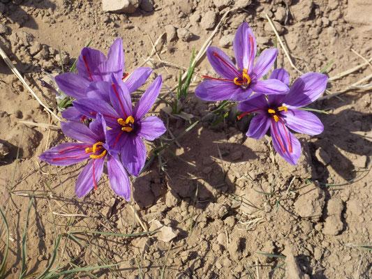 Seuls les 3 petits brins d'étamine de chaque fleur seront utiliser