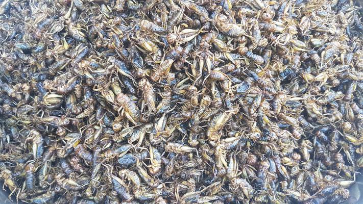 Insectes à manger. Une bonne source de protéines pour les pays pauvres. Délicieux