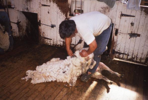 Tonte des moutons dans une ferme (des milliers)