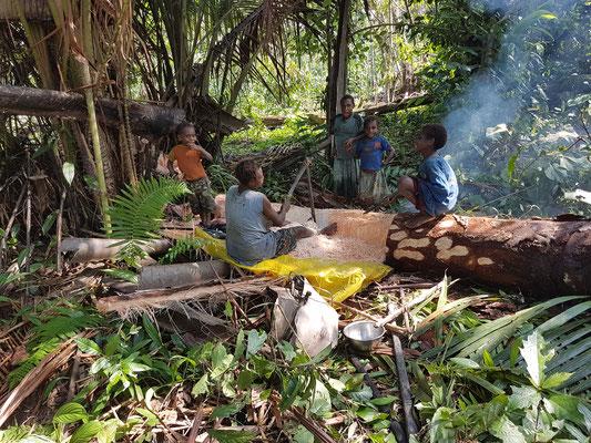 """Extraction de la """"chair"""" de l'arbre sago. Une nourriture pour les villageois"""