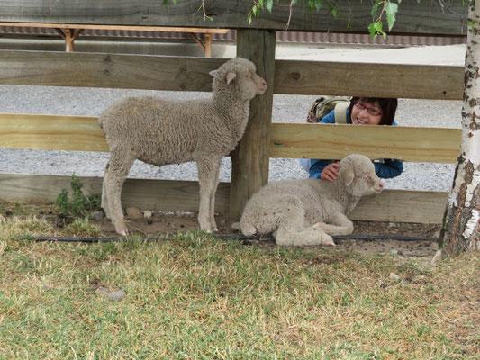 (4) ドライブインの隣で飼われていた子羊。癒されるねえ。