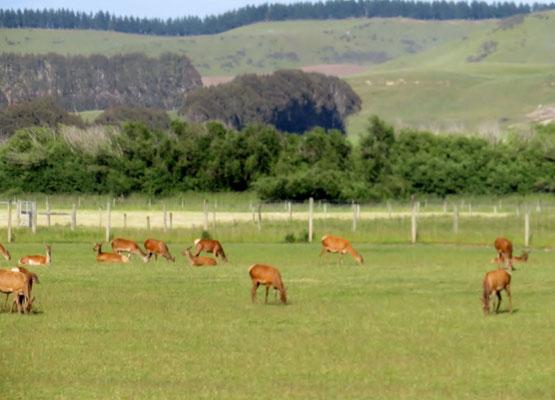 (1) 鹿の放牧、もちろん食用。ベニソン(鹿肉)は、少し固いがビーフに似た味だった。
