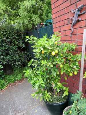(19) 鉢植えのレモン。壁のヤモリはおもちゃ。