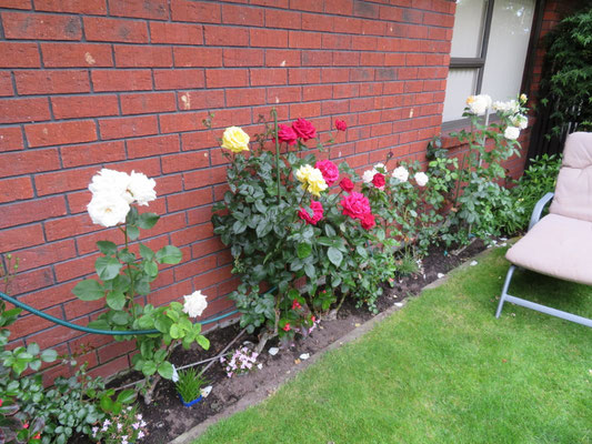 (18) 庭のバラ。町中あちこちでバラが見られる。