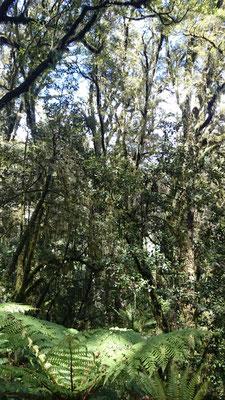 (17) ミルフォードの森を散策。年間7,000mm以上の雨が降るという森は、湿潤で苔や寄生植物が着生し、林床には巨大なシダが茂る。