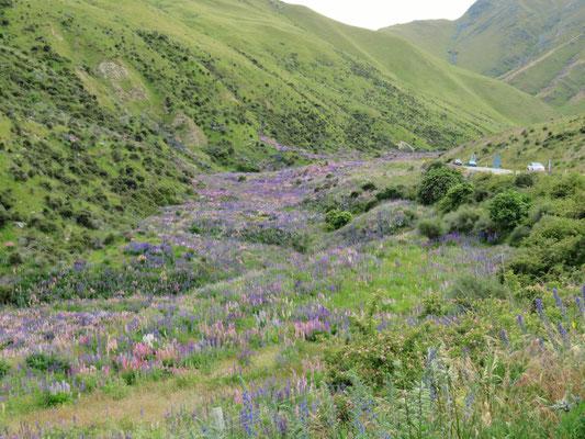 (1) 谷間を埋め尽くすルピナス。こうした光景が各所で見られた。
