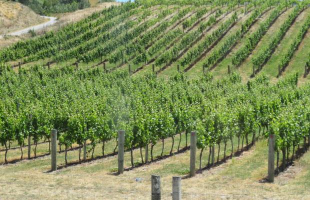 (6) ぶどう園。ニュージーランドは近年ワインが有名になってきた。