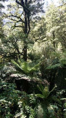 (18) 熱帯のジャングルを彷彿とさせる不思議な森。数100m上に森林限界が迫り、すぐその上には氷河の峰がたたずむ。奇跡の森。