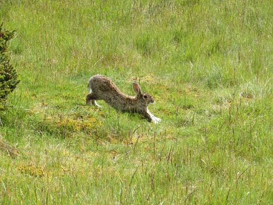 (7) 野うさぎ発見! ニュージーランドには元々四足の哺乳類はいない。すべての「野生動物」は、イギリス人が持ち込んだものが野生化したもの。