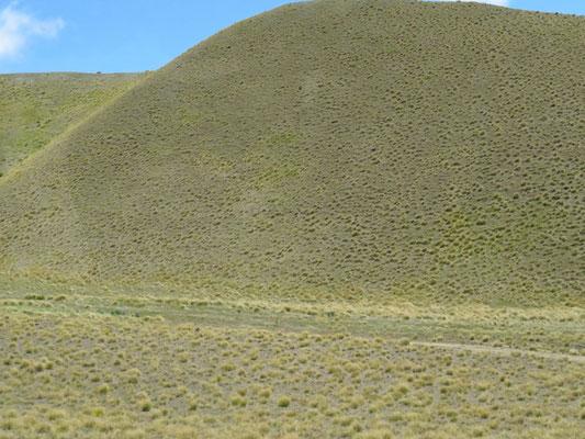 (5) ニュージーランド固有種の単子葉類タソックが覆い尽くす乾燥地帯。固くてヒツジも食べないとか。
