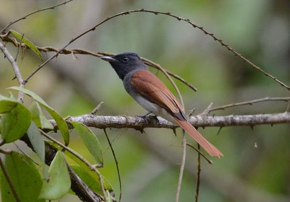 Asiatischer Paradiesschnäpper, Asian Paradise-flycatcher, Persiphone paradisi