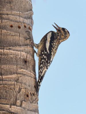 Ringeln ist ein Fachbegriff aus der Vogelkunde und beschreibt die Methode, im Saft stehende Äste oder Stämme anzuhacken, um an Baumsäfte und Baumharze zu gelangen.