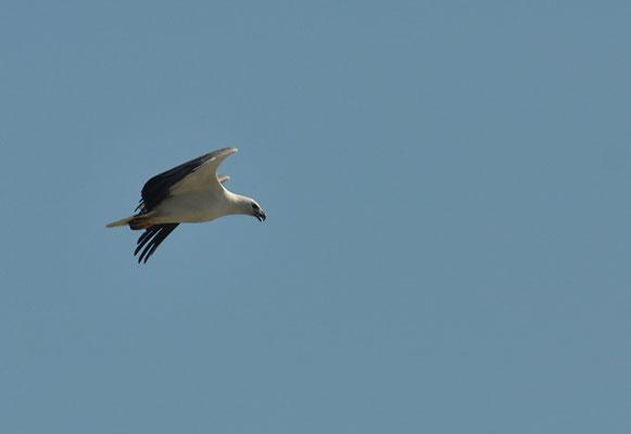 WEISSBAUCHSEEADLER, WHITE-BELLIED SEA EAGLE, HALIAEETUS LEUCOGASTER