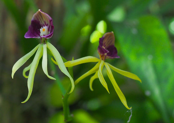 Orchidee im Orchideengarten