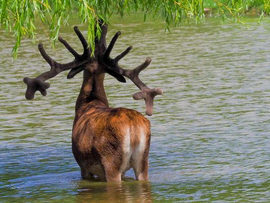 Hirsche sind keineswegs wasserscheu.