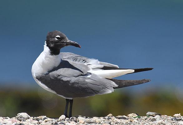 Aztekenmöwe, Laughing gull, Leucophaeus atricilla