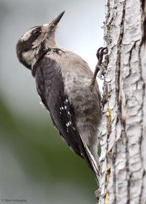 Der Haarspecht (Hairy Woodpecker - Picoides villosus), gehört wie unser Dreizehenspecht zur Gattung Picoides und kommt in Nord-und Mittelamerika vor.