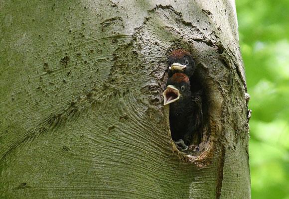 Der Schwarzspecht ist der größte und beeindruckendste unserer Spechte. Er ist weit verbreitet. Auf dem Bild warten fast erwachsene Jungspechte in ihrer Höhle in einer Buche (dem bevorzugten Höhlenbaum) auf den Altvogel und Nahrung.