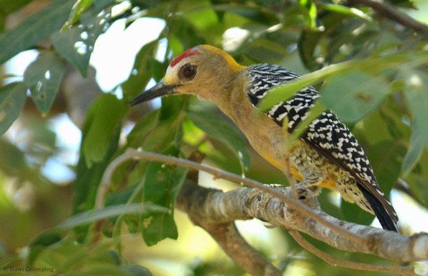 Der Hoffmannspecht (Hoffmann´s Woodpecker - Melanerpes hoffmannii) gehört ebenfalls zu den Echten Spechten und ist ein auf das südliche Honduras und auf Costa Rica beschränkter Endemit.