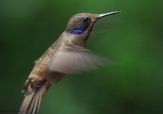 Brauner Veilchenohrkolibri, Brown violet-ear, Colibri delphinae