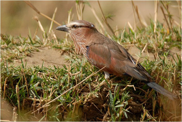 STRICHELRACKE, RUFOUS-CROWNED ROLLER, CORACIAS NAEVIA