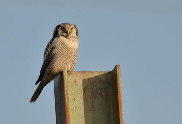 SPERBEREULE, HAWK OWL, SURNIA ULULA