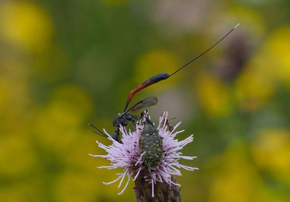 Schmalbauchwespe, Gasteruptiidae indet.