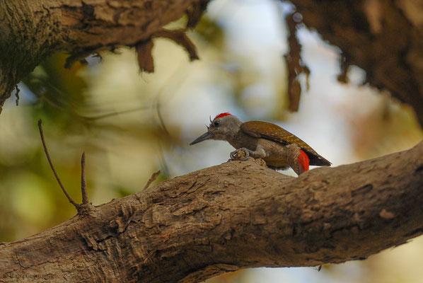 Ein weiterer Vertreter der Gattung der Buntspechte (Dendrocopus) ist der Graukopfspecht (Grey Woodpecker- Dendropicos goertae), der in Afrika zu finden ist. Das Männchen hat den leuchtend-roten Scheitel.